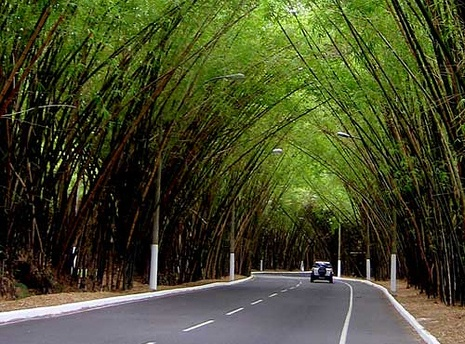 Bambuzal da Av. Octavio Mangabeira - Salvador.BA